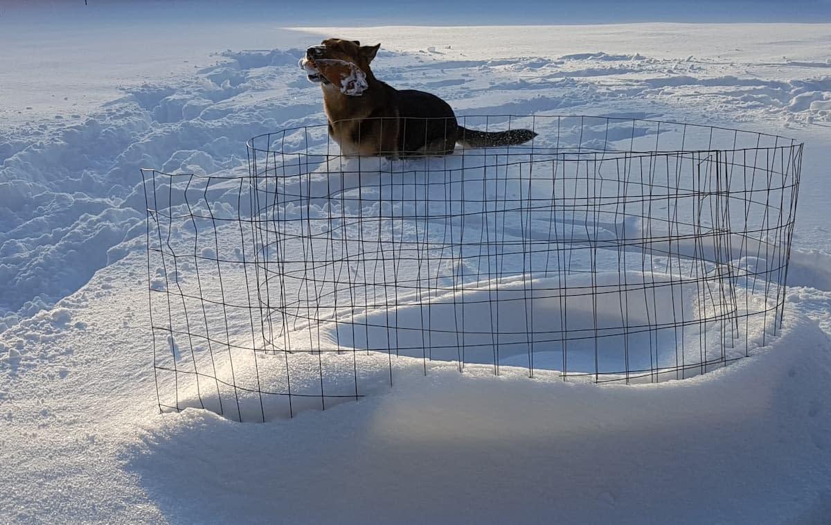 german shepherd playing in snow