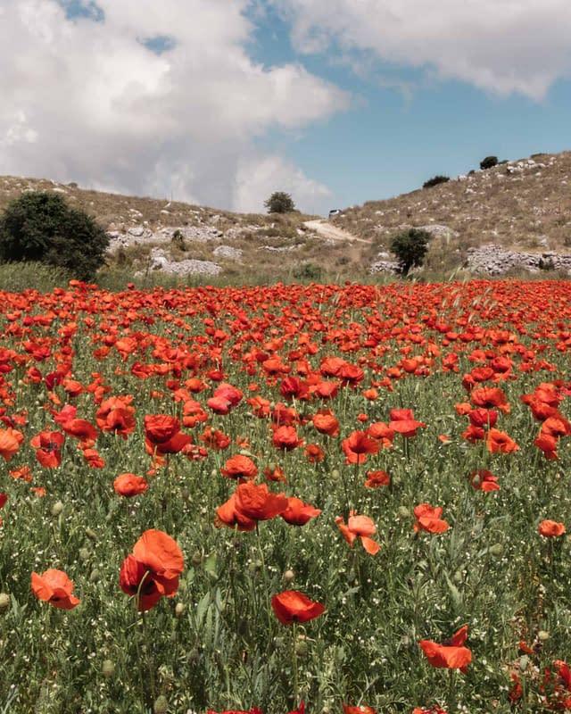 poppy flowers in lefkada